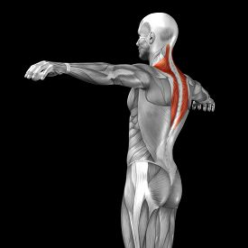 picture of triceps brachii  - Concept or conceptual 3D back human anatomy or anatomical and muscle isolated on black background - JPG