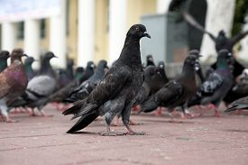 pic of pigeon  - the pigeon is sitting on the square amid flocks of pigeons - JPG