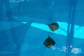 picture of stingray  - Two stingrays swimming in blue pool in Mallorca Balearic islands Spain in July - JPG