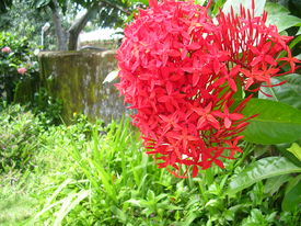 picture of asoka  - Asoka flower in rural area - JPG