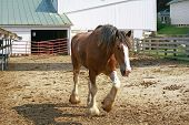 picture of clydesdale  - Large Clydesdale Horse Trotting on a Farm - JPG