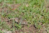 Wild Mouse. The Mouse Runs On A Grass. Gray Mouse. poster