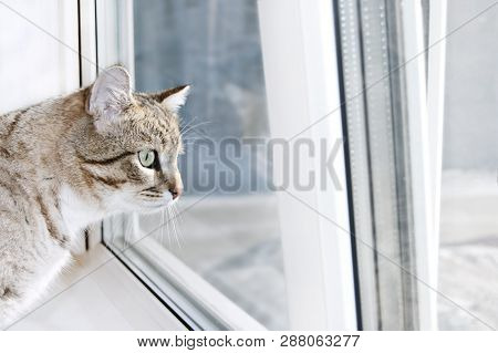 poster of Tabby Male Cat Looks Out The Window With Interest. Portrait Of Tabby Cat On Windowsill. Cat Wants To