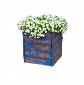 Pot With Bush Of Blooming Plant For Landscape Design. Bush With Many Small White Flowers In Blue Woo poster