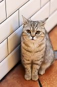 Beautiful Portrait Of A British Shorthair Cat. The Cat Looks And Waits. Playful Cat Waiting For A To poster