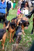 BERKSHIRE - DECEMBER 26: Pack of Bloodhounds at the Stanford Dingley Boxing Day Hunt on December 26,
