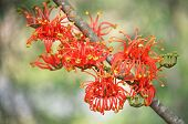 Vibrant Red Orange Flowers Of The Australian Native Firewheel Tree, Stenocarpus Sinuatus, Family Pro poster