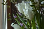 White Tulips In A Bouquet With Rhododendron Look Out The Window. Sprigs Of Rhododendron And A Wall W poster