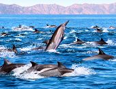 stock photo of porpoise  - A group of common dolphins in Mexico - JPG