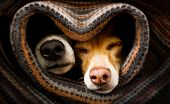 Couple Of Dogs In Love Sleeping Together Under The Blanket In Bed In Heart Form,  Warm And Cozy And  poster