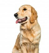 Golden Retriever sitting in front of white background poster