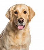 Golden Retriever in front of white background poster