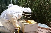 stock photo of honey bee hive  - A man capturing a swarm of bees - JPG