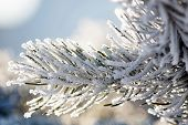 stock photo of icicle  - pine branch - JPG