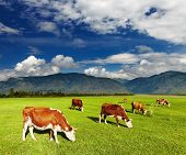 stock photo of highland-cattle  - Mountain landscape with grazing cows - JPG