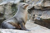 foto of sea lion  - Sea Lion - JPG