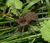 picture of baby spider  - spider with babies on its back - JPG