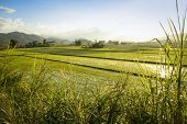stock photo of luzon  - lush rice paddies growing under the glaring sun in northern luzon in the philippines - JPG