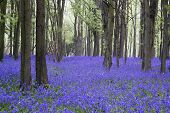 foto of harebell  - Beautiful carpet of bluebell flowers in Spring forest landscape - JPG
