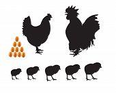 pic of bantams  - bantam chicken chicks eggs on a white background - JPG