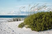 stock photo of sea oats  - Large beach rosemary and sea oats on white sand Forida beach - JPG