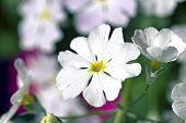 stock photo of cowslip  - Perefctly cultivated White and Purple Primula growing in a sunny garden - JPG