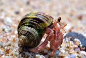 stock photo of hermit  - Hermit crab crawling along the sandy beach - JPG