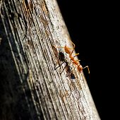 Ant on a wooden surface close-up