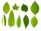 picture of green leaves  - Green tree leaves summer nature collection isolated white background - JPG