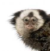 picture of marmosets  - Portrait of young White - JPG
