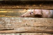 pic of greenpeace  - A pig behind the barn wooden fence - JPG
