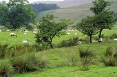 stock photo of windswept  - Four Windswept Trees Stand in Field Beneath Hillside Landscape as White Sheep Graze, Edale Valley Peak District England UK