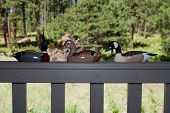 stock photo of pintail  - Three painted duck decoys on a grey deck railing with forest in the background - JPG