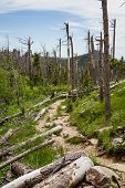 image of epidemic  - dead pine trees in the black hills national forest after almost 20 years of a pine beetle epidemic - JPG