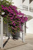 image of begonias  - Decorative aegean and mediterranian flower Begonia  - JPG