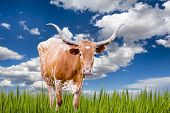 stock photo of longhorn  - Female Longhorn cow in a Texas pasture - JPG