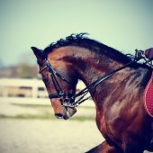 stock photo of brown horse  - Brown stallion. Portrait of a sports brown horse. Riding on a horse. Thoroughbred horse. Beautiful horse. ** Note: Soft Focus at 100%, best at smaller sizes - JPG