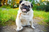 image of pug  - Little smiling pug sitting on a sidewalk in a summer park - JPG
