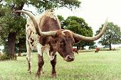 foto of longhorn  - Closeup of Texas Longhorn grazing on pasture - JPG