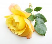 foto of single white rose  - Single yellow rose flower with leaf on white background - JPG