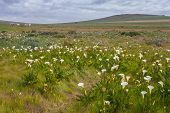 pic of arum lily  - Field with arum lilies in Darling Soth Africa - JPG