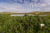 foto of arum  - Field with arum lilies in Darling Soth Africa - JPG