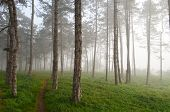 picture of early morning  - One narrow footpath through foggy pine fores early in the morning - JPG