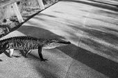picture of alligator  - Alligator in Florida - JPG