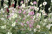 image of hollyhock  - Hollyhock  - JPG
