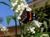 Lovely Orange and Black butterfly with snout poster