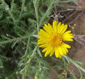 foto of xeriscape  - closeup of wild daisy - JPG