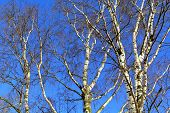 stock photo of birching  - White birch trees across the blue sky on a sunny day in early spring - JPG