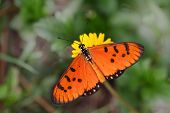 pic of viola  - Tawny Coaster Acraea violae Butterfly in tropical garden - JPG