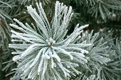 stock photo of conifers  - Winter frost landscape - JPG
